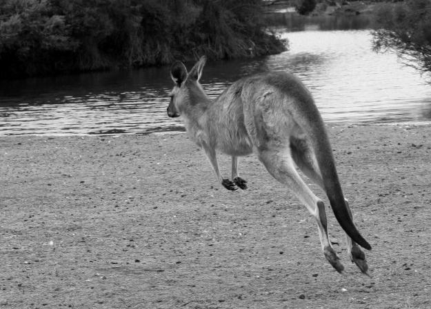 jumping kangeroo