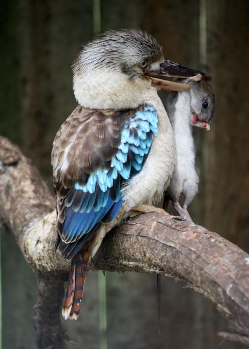 kookoburra