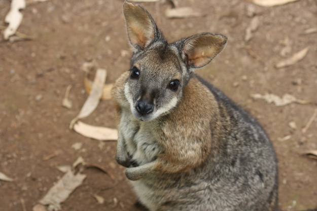 wallabie2
