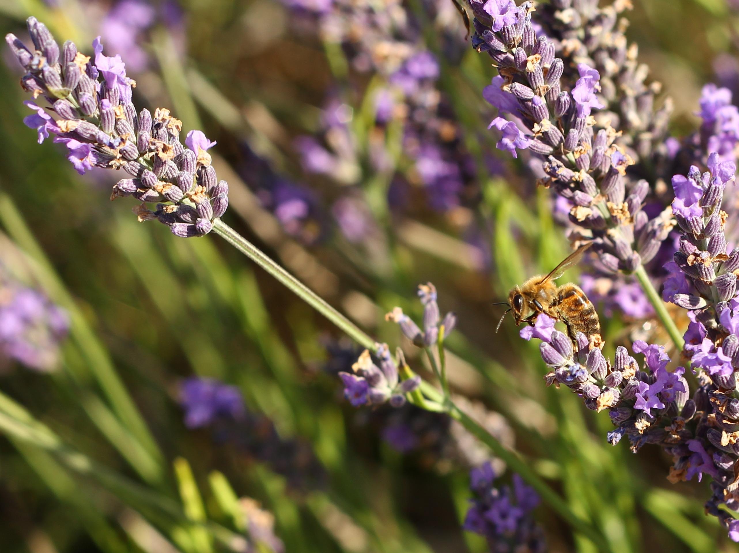 Lavender-028