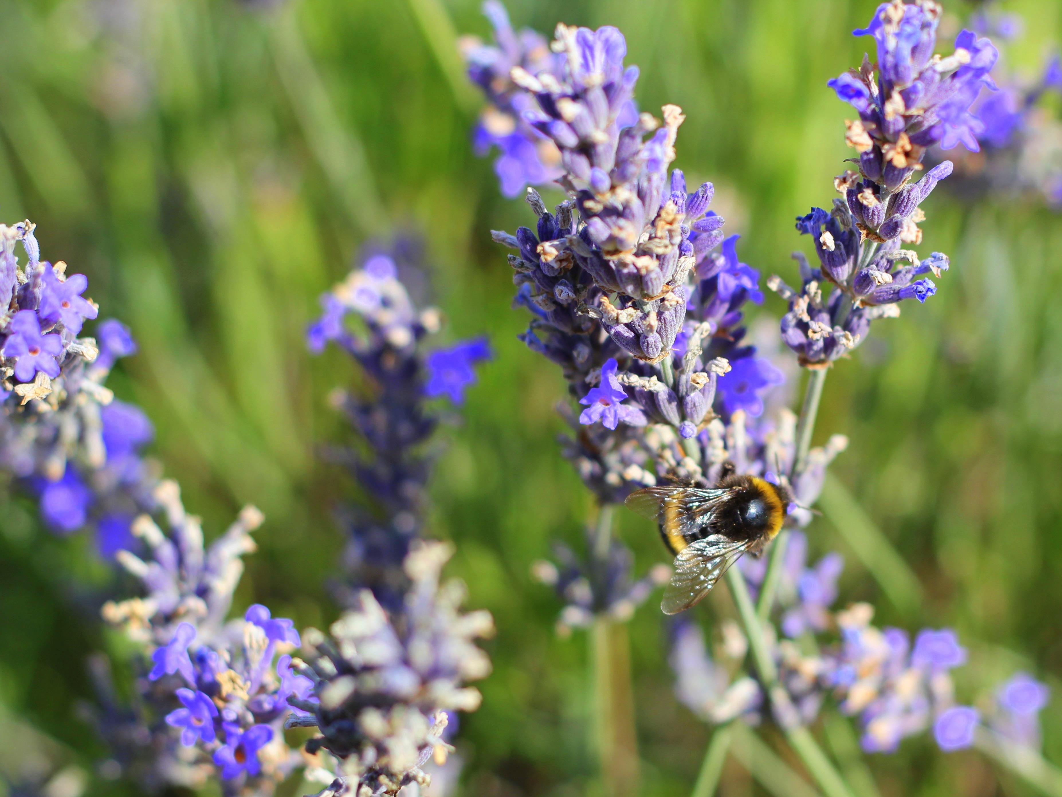 Lavender-030